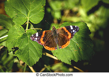 Red Admiral butterfly in a green garden