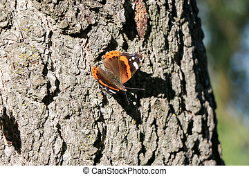 Red Admiral butterfly Vanessa atalanta on a tree