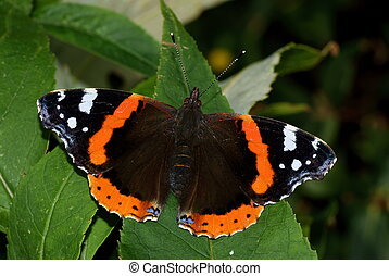 Red Admiral Butterfly, Vanessa atalanta, resting on a leaf