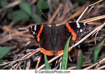 Red Admiral Butterfly (Vanessa atalanta)