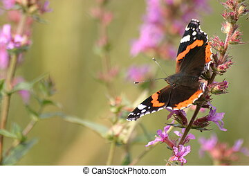 Red admiral - European butterfly on a flower
