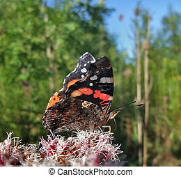 Red Admiral in sunny ambiance
