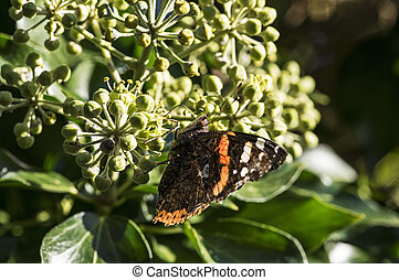 Red Admiral on blooming ivy