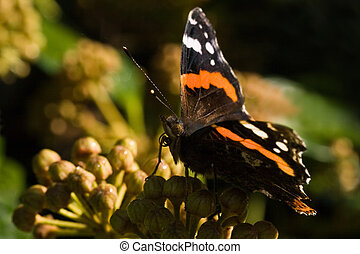 Red Admiral on Common Ivy flowers