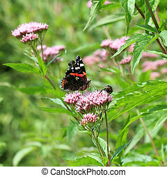 Red Admiral Vanessa atalanta buttefly in forest meadow environment