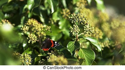 Red admiral, vanessa atalanta, Butterfly in flight, Taking off from Ivy, Hedera helix, Slow Motion 4K