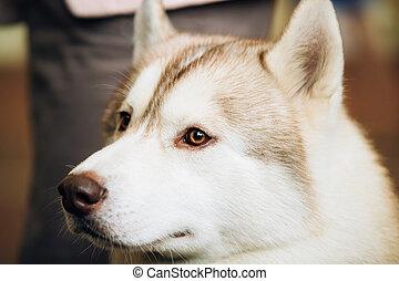 Red Adult Siberian Husky Dog Close Up Portrait