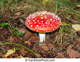 Red agaric in the forest close up
