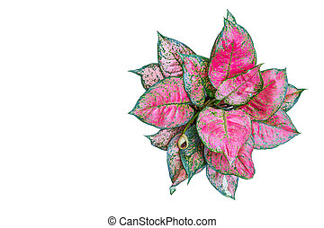 Red aglaonema so beautiful for decorative leaves of a house plant  isolated on white background.