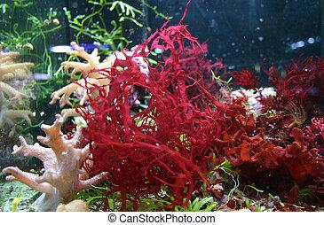 red alga in sea aquarium