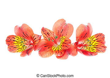 Red Alstroemeria Lily Spray isolated on white background