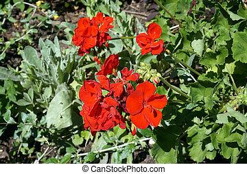 Red amaryllis flowers in garden