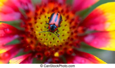 Red and black beetle. - Red and black beetle at the aster...