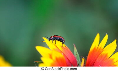 Red and black beetle. - Red and black beetle at the...