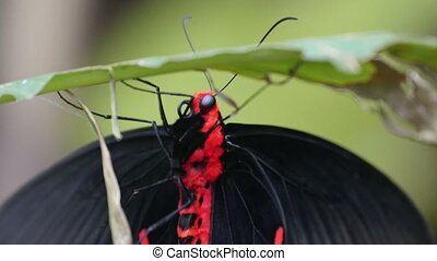 Red and black butterfly hanging on the branch