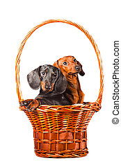Dachshund Dogs sitting in basket on isolated white
