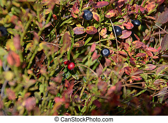 Red and Black Forest berries grow in the forest on the bushes under the rays of the sun
