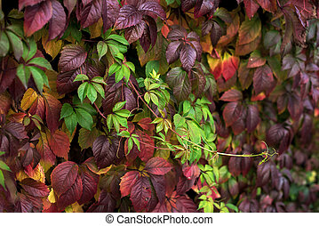 Red and green autumn leaves on a wall, background