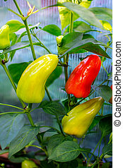 Red and green bell pepper growing in garden