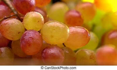 Red and green grape bunch 4K macro pan shot, shallow focus -...