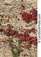 Red and green leaves on an ancient wall in Spain