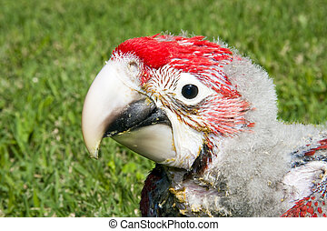 red-and-green, macaw