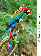 Red-and-green Macaw Parrot sitting on branch