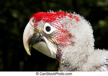 Red-and-green macaw (Ara chloroptera) chick