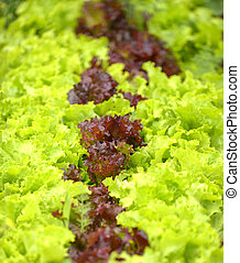 red and green salad in a garden