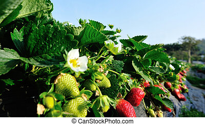 red and green strawberries in growth at garden