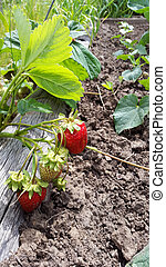 red and green strawberries in summer garden