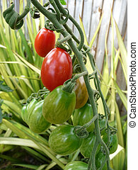 Red And Green Tomatoes 2