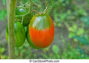 red and green tomatoes on a branch of a bush