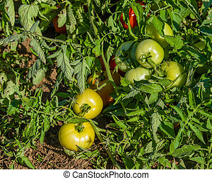 Red and green tomatoes on vine