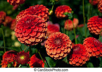 Red and Orange Dahlias against Foliage Background - A garden...