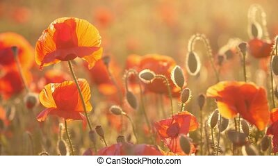 Red and orange poppies fluttering in a dreamy area in...