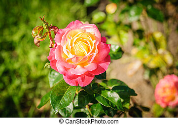 Red and orange Rose in a garden on natural background