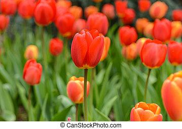 Red and Orange Tulip in Spring