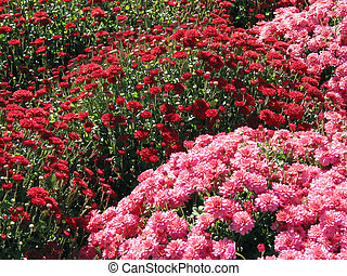 Red and pink fall mums