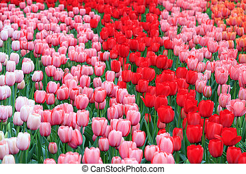 Red and pink flowers