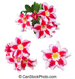 Impala lily flowers isolated on white background