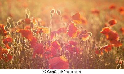 Red and pink poppies growing in a fairytale field in Ukraine...