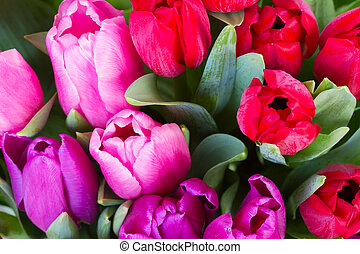 red and purple tulip flowers