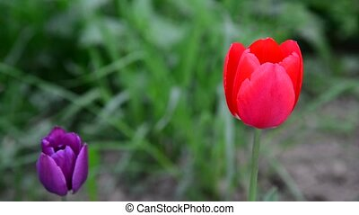 Red and purple tulips in breeze - Red and purple tulips in...