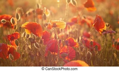 Red and rosy poppies blooming in a beautiful meadow in...