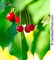 Red and Sweet Ripe Cherries on a Branch with Leaves in Summer