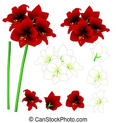 Red and White Amaryllis - Hippeastrum. Christmas Flower....