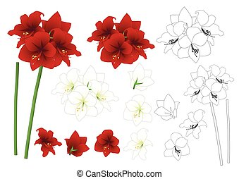 Red and White Amaryllis Outline - Hippeastrum. Christmas...
