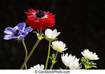Red and white anemone