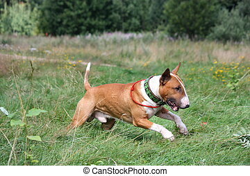 Red and white bull terrier running at the field